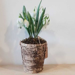 Pot of Faux Snowdrops